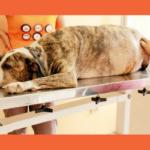 Piometra em Cadelas e Gatas: Quais os Riscos e Como Tratar?