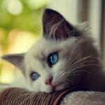 Toxoplasmose: O gato não é o vilão!