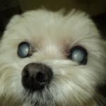 Catarata em Cães: A Doença dos olhos brancos!
